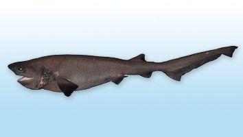 Tiburón Albajar