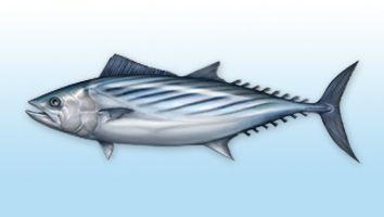 Bonito sierra; pez Sierra, Corrigüelo