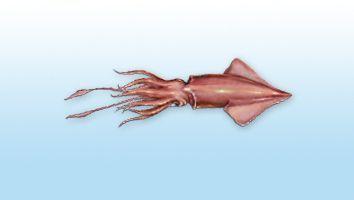 Calamar, Calamar común