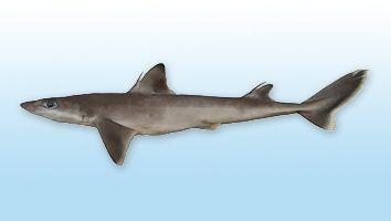 Cazón Galludo, Tiburón Galludo