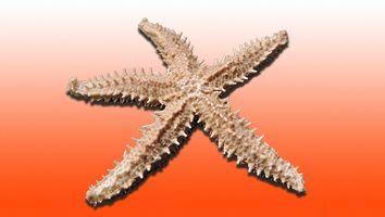 estrella picuda, estrella espinosa