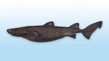 Tiburón Gata