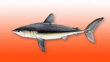 Marrajo Sardinero, Tiburón Sardinero