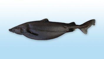Palluda, Tiburón Palluda