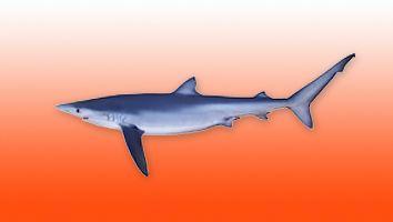 Quella, Tiburón Azul