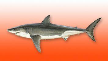 Tiburón Blanco, Gran Blanco