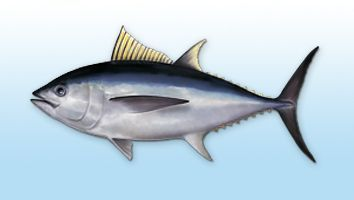 Tuna; Atún Azul, Big Eye